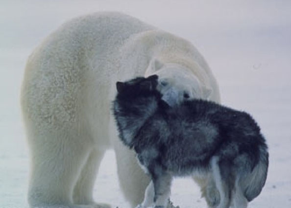 Polar_Bear_Makes_a_Friend_Photos_Norbert_Rosing4.jpg