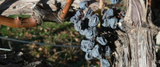 Old-Vine-with-Withering-Grapes