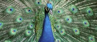 peacock95