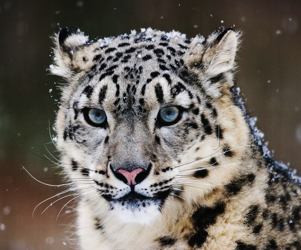 snow-leopard-t
