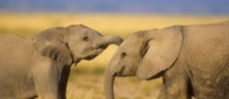 3779_file_Elephant2_Balfour