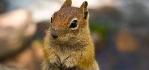 Cute-Chipmunk