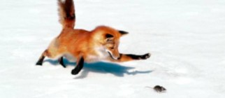 Fox Mouse