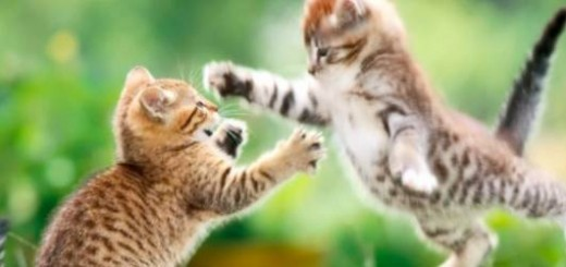 funny-cat-fight