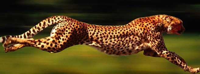 running_cheetah_-1248