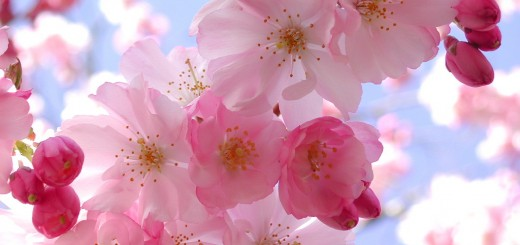cherry-blossom-pink-flowers-3