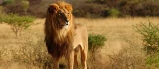 lion-shutterstock