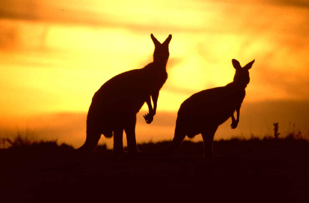 australia0canguri