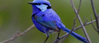 Aus-Splendid-Fairy-Wren-male