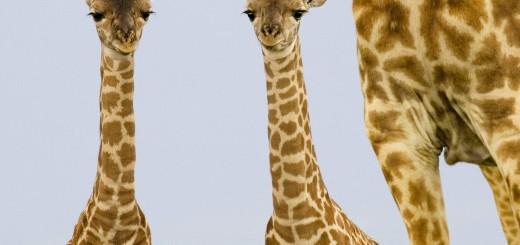 Two_Newborn_Giraffes_Masai_Mara_Kenya