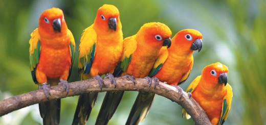 birds_of_paradise_and_ming_beauty-520×245