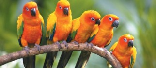 birds_of_paradise_and_ming_beauty-520×346