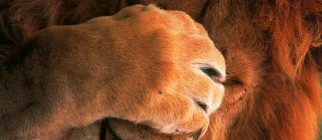 lion_face_palm