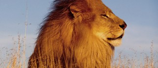 The-best-top-desktop-lion-wallpapers-hd-lion-wallpaper-2