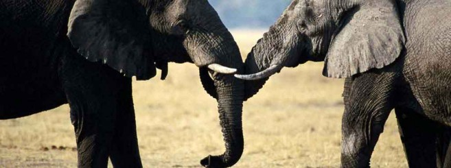 elephants-love-wallpaper