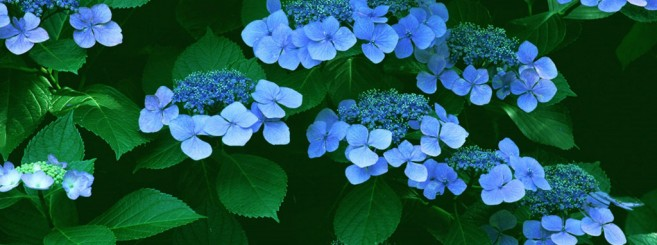 little-blue-flowers_1024x768_15509