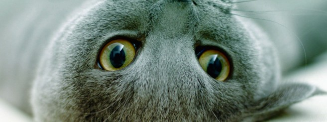 cat_breeds_-_russian_blue