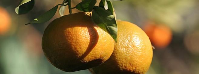 citrus660