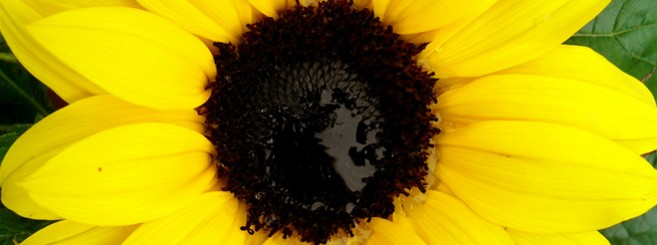 sunflower660