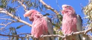 Birds (Parrots)
