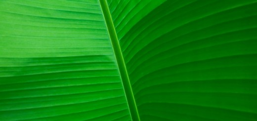Banana Leaf - Musa textilis - underneath