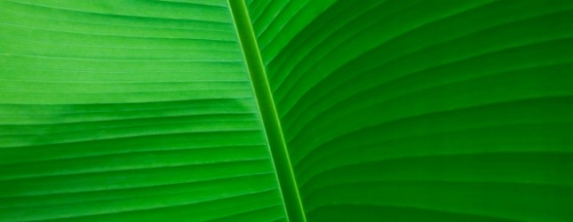 Banana Leaf – Musa textilis – underneath