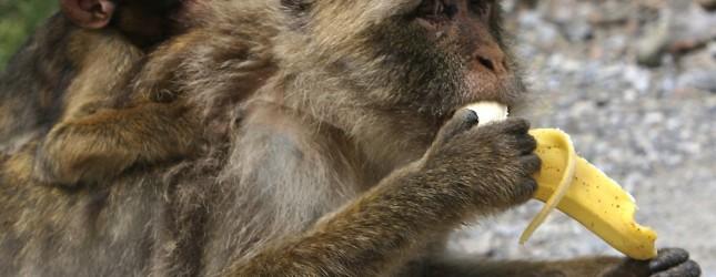 A Barbary Macaques (Macaca sylvanus) eat