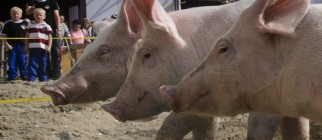 SWITZERLAND-OFFBEAT-ANIMAL-PIG-RACE