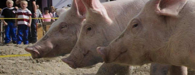 SWITZERLAND-OFFBEAT-ANIMAL-PIG-RACE