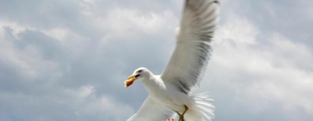 seagull_thief