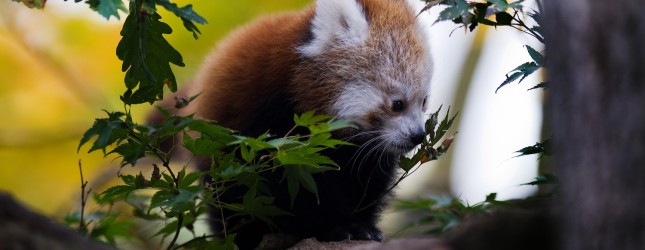 GERMANY-ANIMALS-RED PANDA