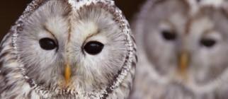 Owls-645×250