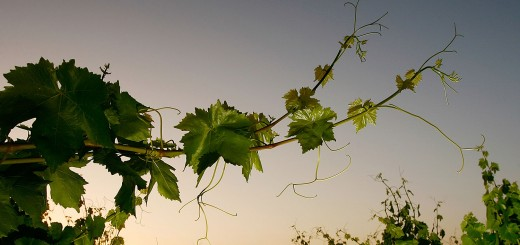 Vines David McNew Getty Images