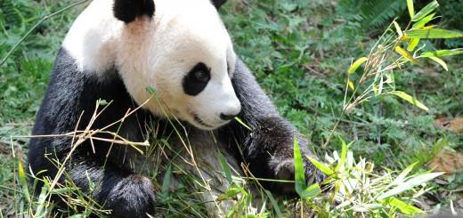 SINGAPORE-ANIMAL-PANDA-OPENING