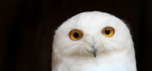 GERMANY-ANIMALS-OWL