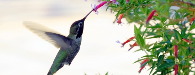 A Hummingbird feeds in Los Angeles, Dece