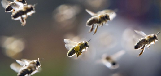 Bees, partly loaded with pollen, return