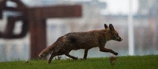 GERMANY-ANIMAL-FOX