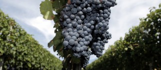 Grapes_Vine
