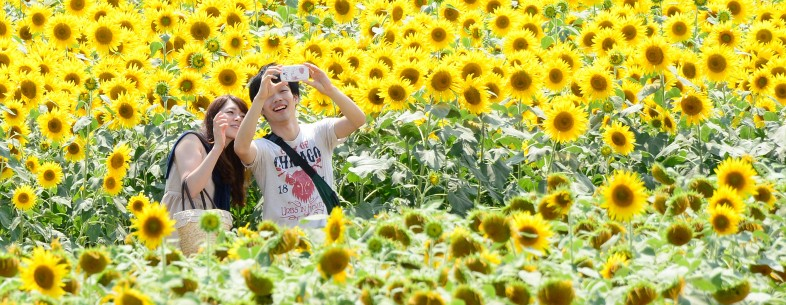 JAPAN-SUNFLOWER