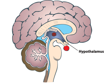 Hypothalamus Emotion in marketing: How our brains decide which content is shareable