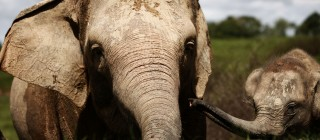 Sumatran Elephant's Threatened With Extinction In Indonesia