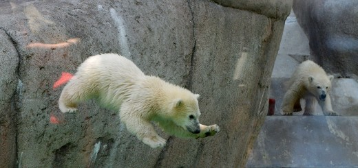 GERMANY-ANIMALS-POLAR BEAR