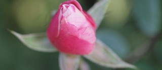 pink rose bud flower
