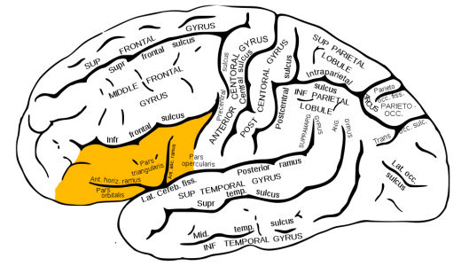 Gray726 inferior frontal gyrus 520x300 Demystifying the muse: 5 creativity myths you need to stop believing