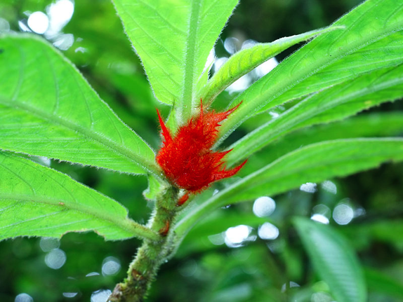 Did you know the columnea flower can only be found in America? (source: wikipedia)