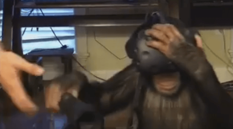Watch this chimp dabble in the wonders of virtual reality